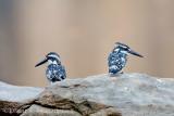 Pied Kingfisher pair. Ranganthittu, Mysore, India