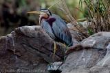 Purple Heron, Ranganthittu, Mysore, India.
