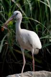 Asian Openbill Stork, Mysore, India.