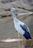 Asian Openbill Stork, Mysore, India