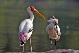 Painted Stork & Eurasian Spoonbill