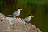 River Tern, a pair at Ranganthittu, Mysore, India.