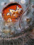 Clown Crab