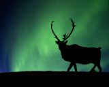 Caribou and Northern Lights