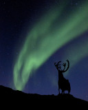 Northern lights and caribou