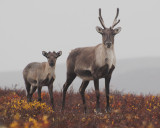 Mom and young Caribou, Point Lake Lodge