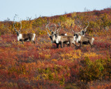 Herd of Caribou, Point Lake