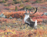 Leaping Caribou