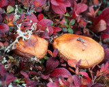 Mushrooms and Bearberry