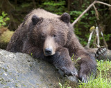 The Grizzly Bears of the Khutzeymateen Reserve