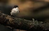 Bonte Vliegenvanger - Pied Flycatcher