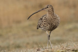 Wulp - Curlew