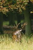 Red Deer - Edelhert