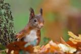 Red Squirrel - Eekhoorn
