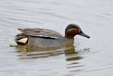 Green-winged Teal - Wintertaling