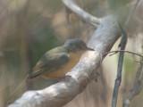 Appert's Tetraka, Zombitse-Vohibasia NP, Madagascar