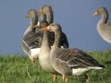 European White-fronted Goose