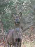 Roe Deer, Carron Valley Forest, Clyde