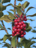Holly berries, Loch Lomond NNR