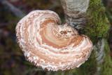 Birch Polypore Fungus, Aber Bog, Loch Lomond NNR