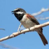 Red-tailed Vanga, Parc Mosa-Ifaty, Madagascar