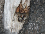 Grey Brown Mouse Lemur