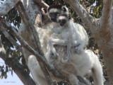 Verreaux's Sifaka, Zombitse NP, Madagascar