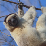 Verreaux's Sifaka, Kirindy NP, Madagascar