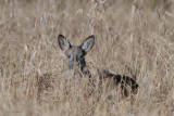 Roe Deer, Aber Bog-Loch Lomond NNR