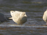 Iceland Gull (1st winter), Endrick Mouth-Loch Lomond NNR, Clyde