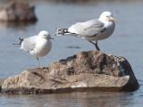 Common Gull, Milarrochy Bay-Loch Lomond, Clyde