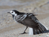 White/Pied Wagtail
