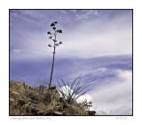 Century plant and Ocotillo