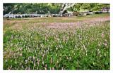 Wild flowers, Cogne