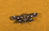 Crambidae; Spilomelinae sp. 9363.jpg