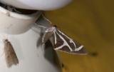 moth  9372.jpg