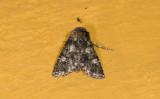 moth  9377.jpg