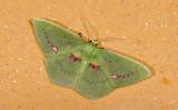 Geometridae; Geometrinae; Rhodochlora brunneipalpis?  9439.jpg