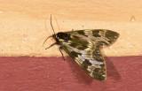 Erebidae; Arctiinae; Arctiini; Dysschema palmeri?  9441.jpg
