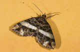Geometridae; Larentiinae; Euphyia sp. ?  9446.jpg