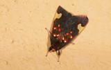 Erebidae; Arctiinae; Melese peruviana?.  9449.jpg