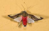 Erebidae; Arctiinae; Arctiini; Bertholdia aff specularis  9450.jpg