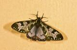 Erebidae; Arctiinae; Arctiini; Dysschema palmeri?  9454.jpg