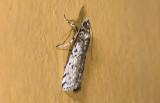 Pyralidae; ?  9455.jpg