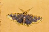 Geometridae; Larentiinae; Eois sp.?  9458.jpg