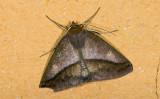 Geometridae; Ennominae; Bassania sp. ?  9464.jpg