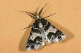 Geometridae; Ennominae; Cargolia sp. ?  9467.jpg