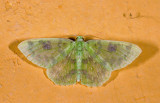 Geometridae; Geometrinae; Nemoria sp.?  9468.jpg