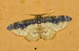 Geometridae; Larentiinae; Eois sp.?  9471.jpg