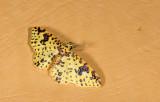 Geometridae; Larentiinae; Eois (adimaria?)   9473.jpg